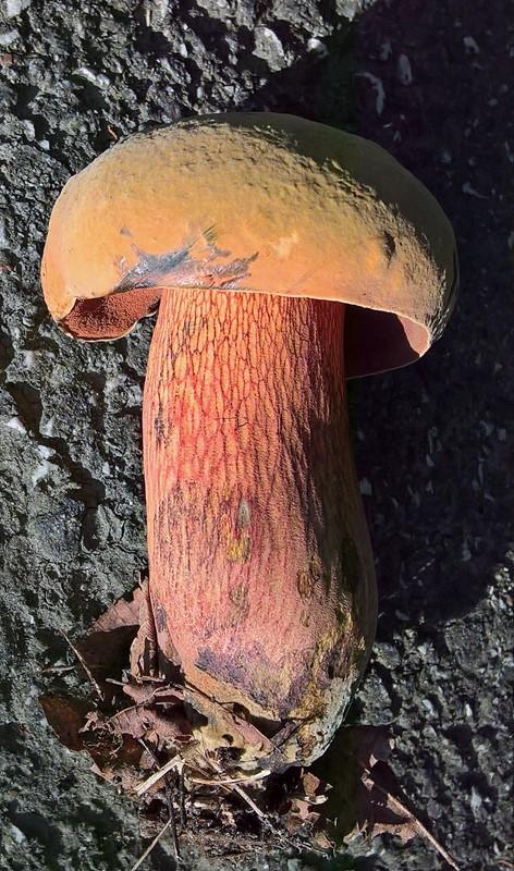 Foto/billede af Netstokket Indigo-Rørhat (Boletus luridus)