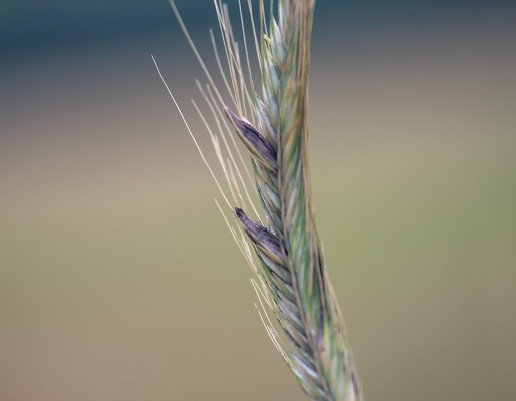 Meldrøjer (Claviceps purpurea)