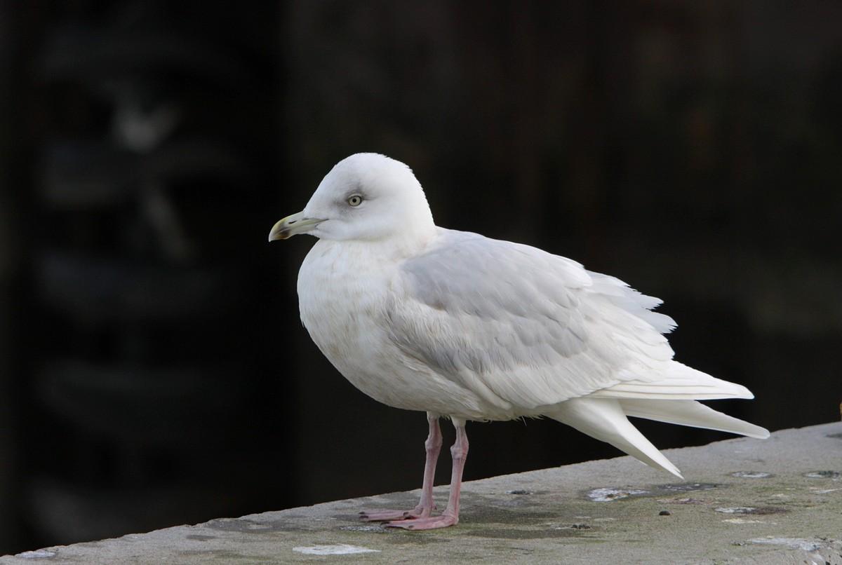 Hvidvinget Måge