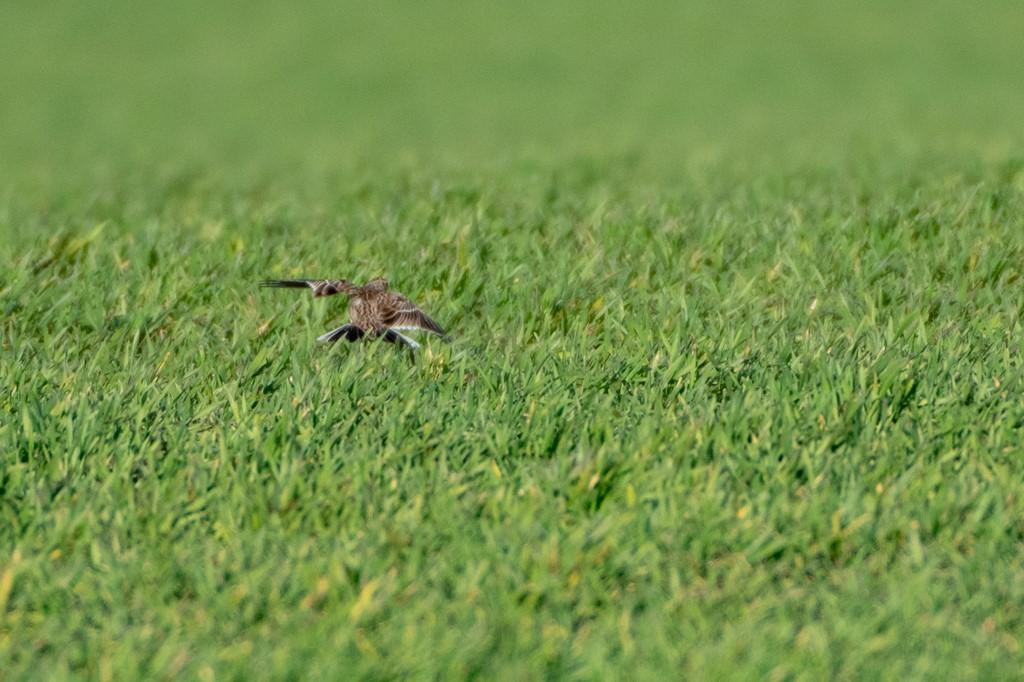 Foto/billede af Lærke ubest. (Alaudidae indet.)