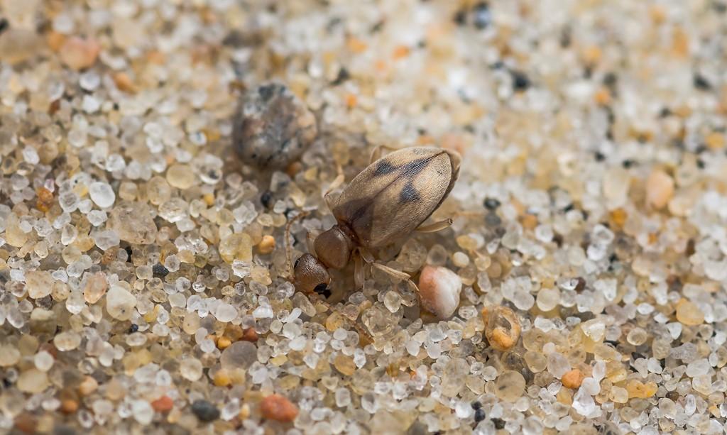 Foto/billede af Bleggul Sandpiler (Anthicus bimaculatus)