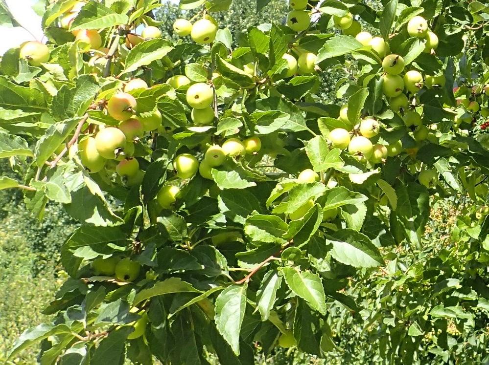 Bær-Æble