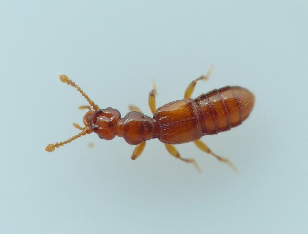 Foto/billede af Plectophloeus nitidus (Plectophloeus nitidus)