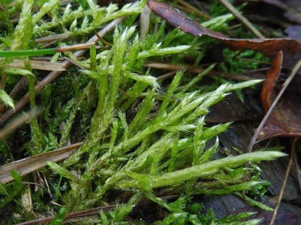 Foto/billede af Hvidlig Kortkapsel (Brachythecium albicans)