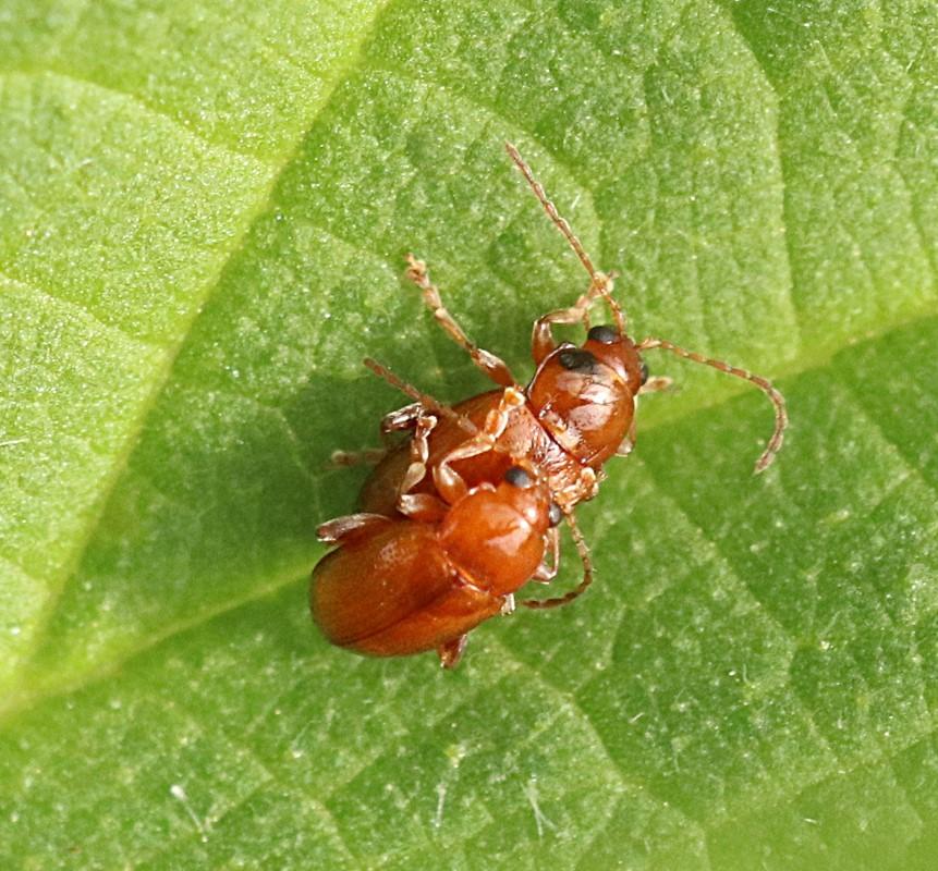 Asiorestia sp. (Asiorestia sp.)