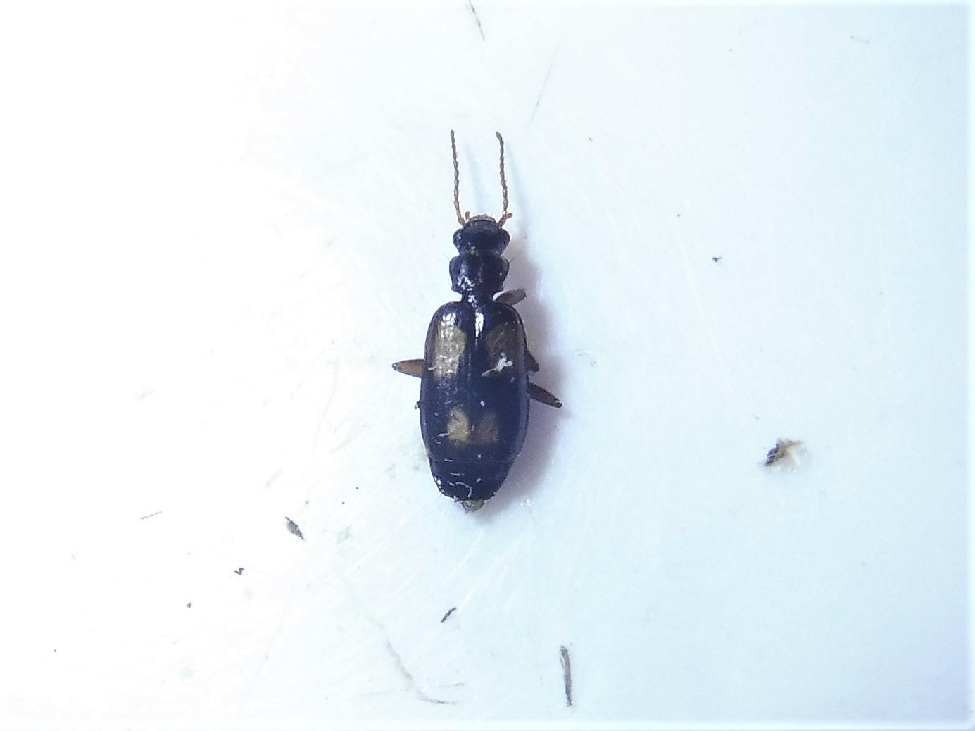 Foto/billede af Lysplettet Barkløber (Calodromius spilotus)