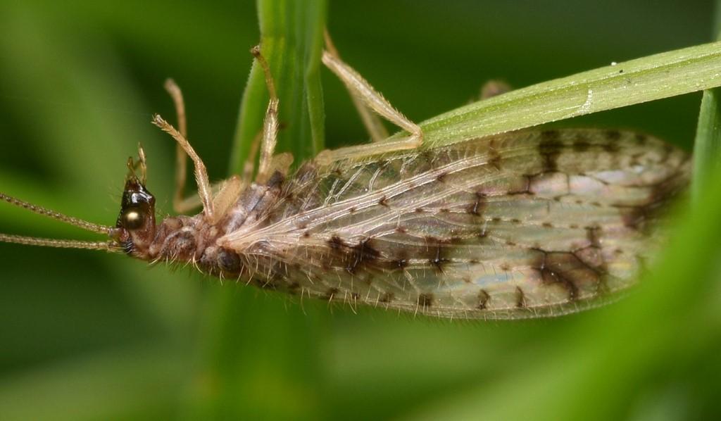Foto/billede af Micromus variegatus (Micromus variegatus)