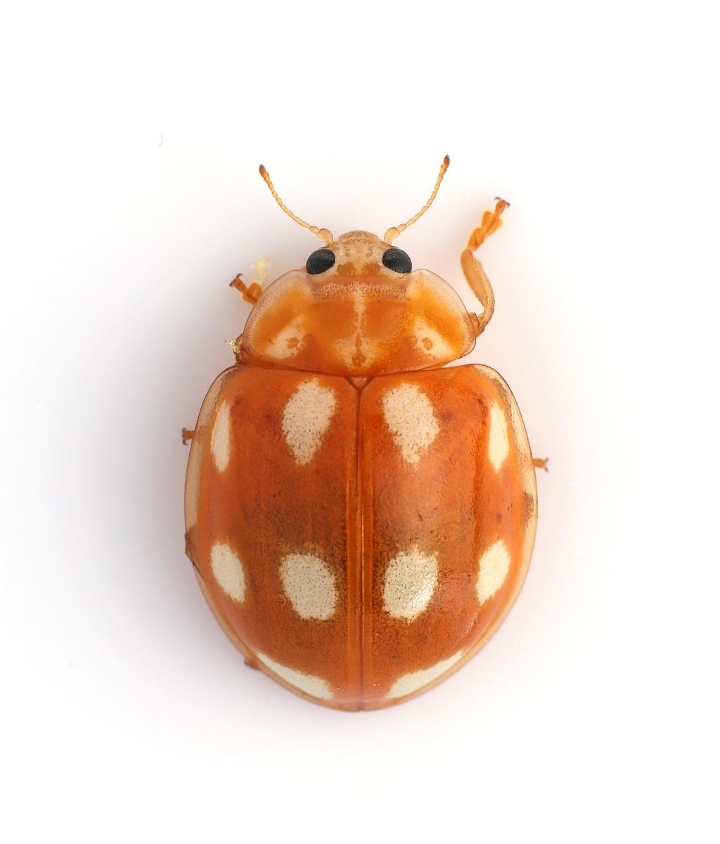Foto/billede af Calvia decemguttata (Calvia decemguttata)