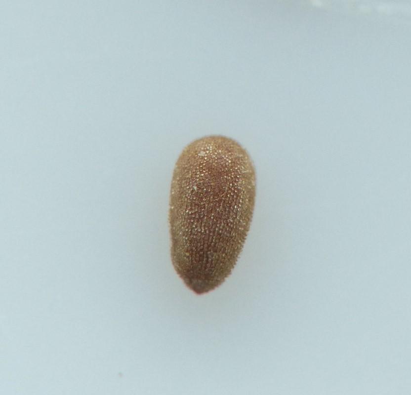 Foto/billede af Rosen-Dueurt (Epilobium roseum)