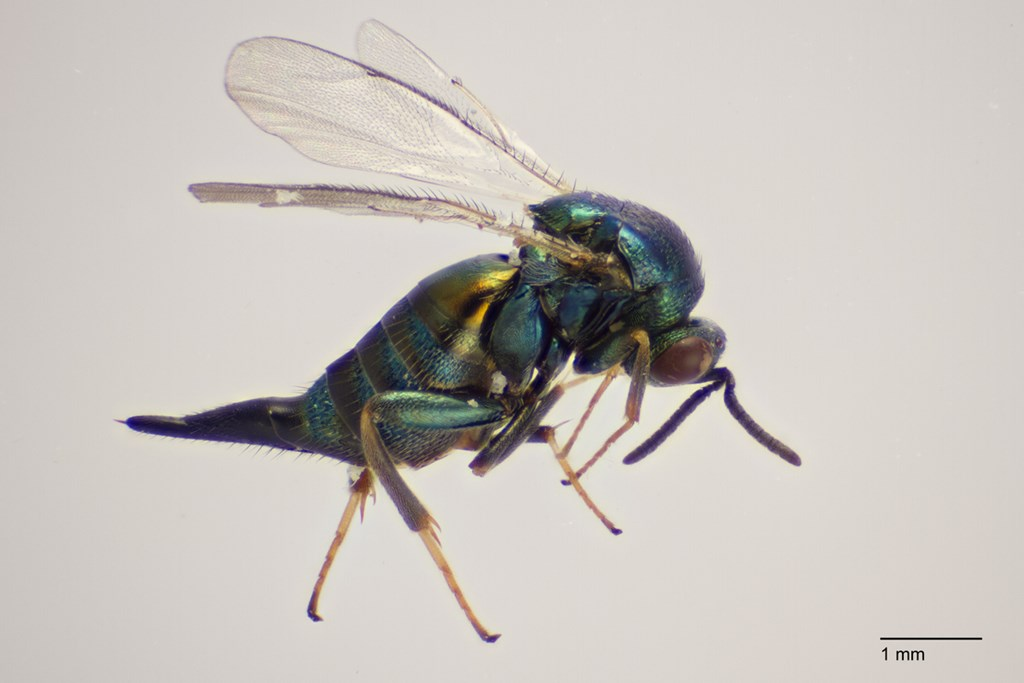Ormyrus nitidulus (Ormyrus nitidulus)
