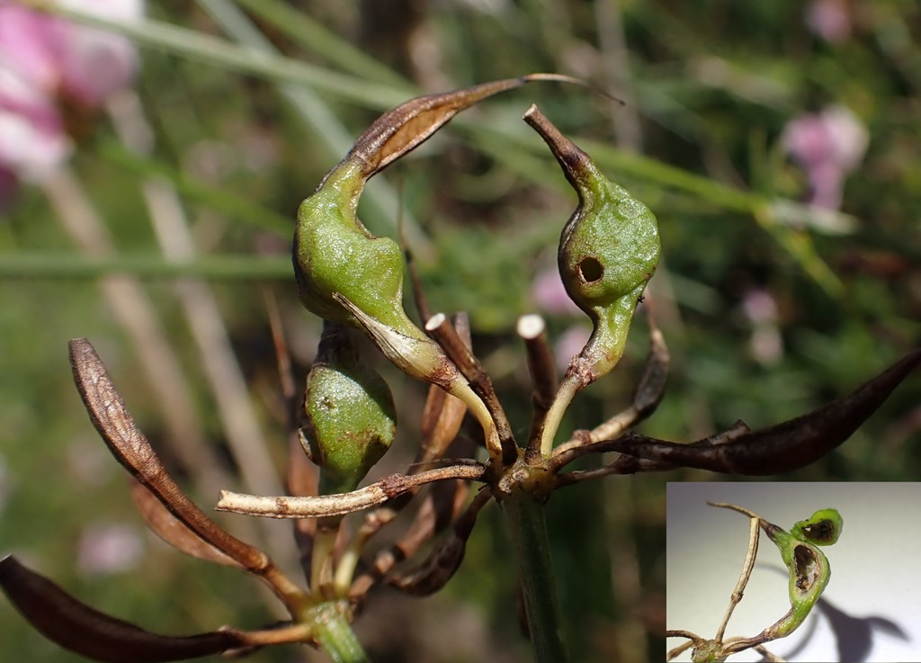 Asphondylia baudysi