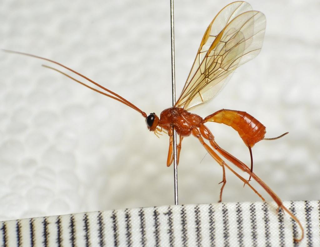 Homolobus annulicornis