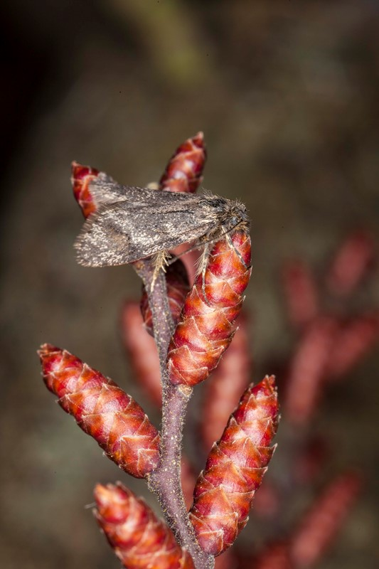 Pileprydvinge (Dasystoma salicella)