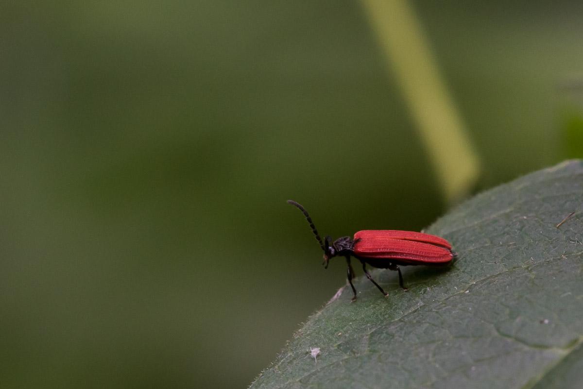 Foto/billede af Sortbrystet Maskebille (Pyropterus nigroruber)