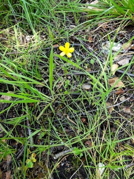 Foto/billede af Kær-Ranunkel (Ranunculus flammula)