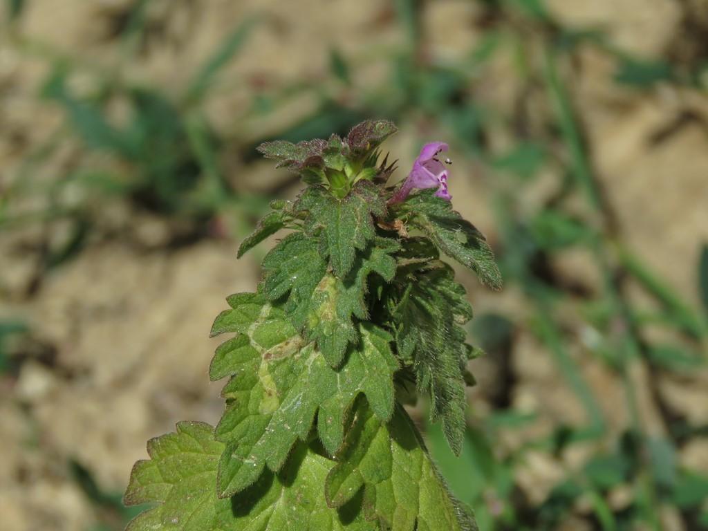 Foto/billede af Fliget Tvetand (Lamium hybridum)