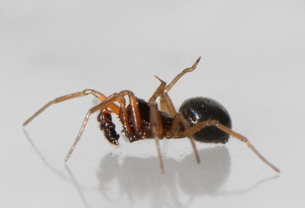 Foto/billede af Sort Dværgedderkop  (Erigone atra)