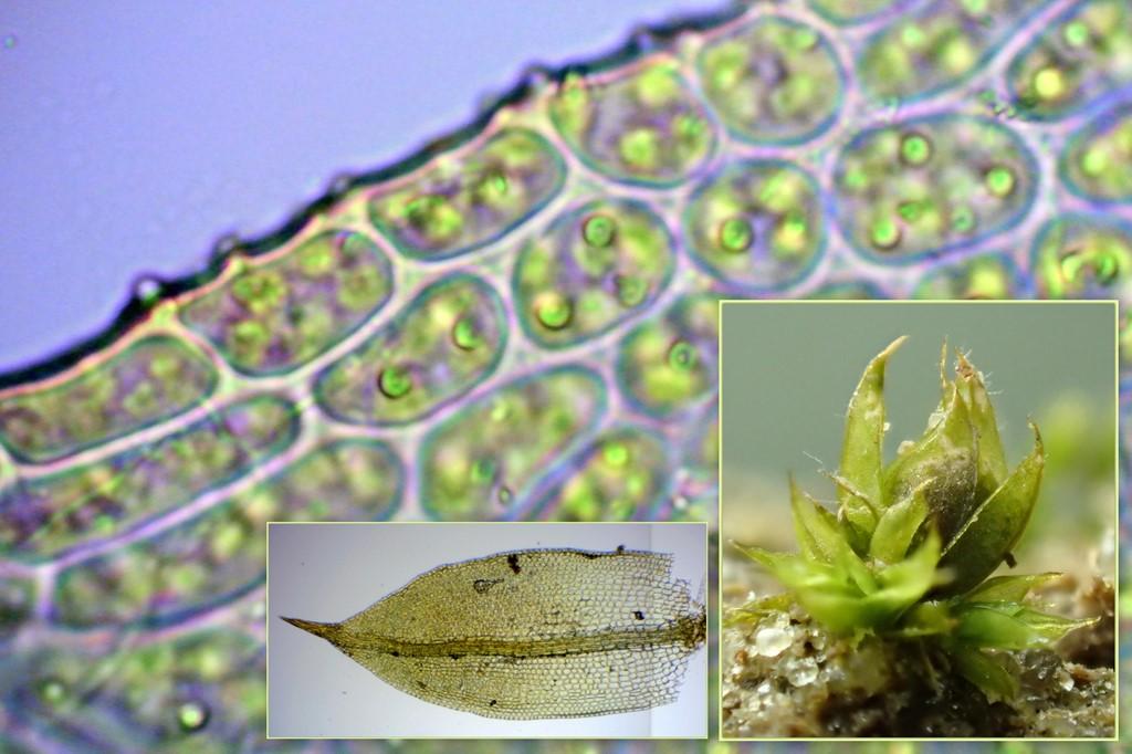 Tilspidset Dværgmos (Phascum cuspidatum)