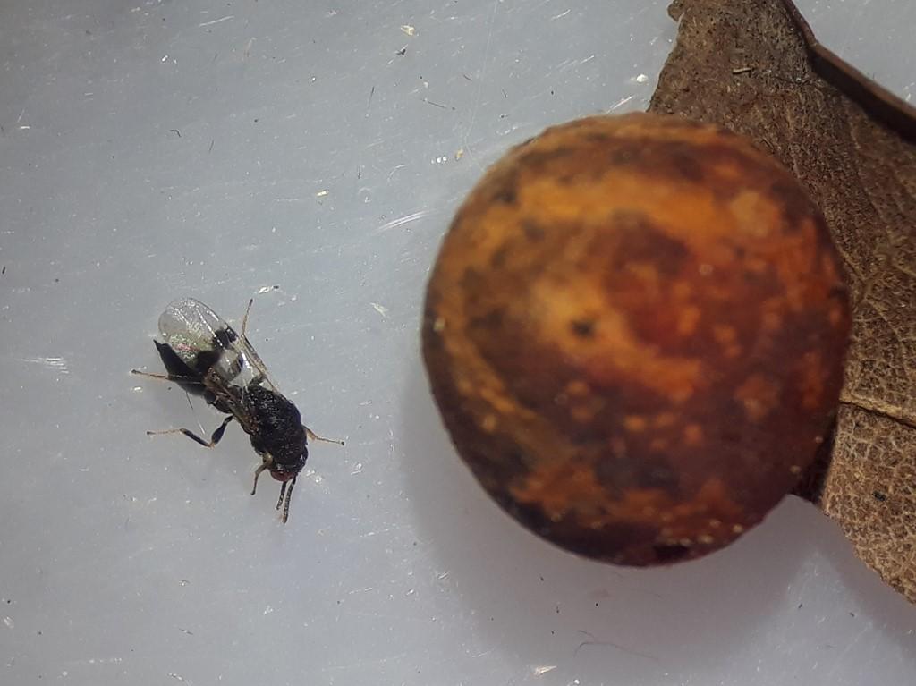 Sycophila biguttata