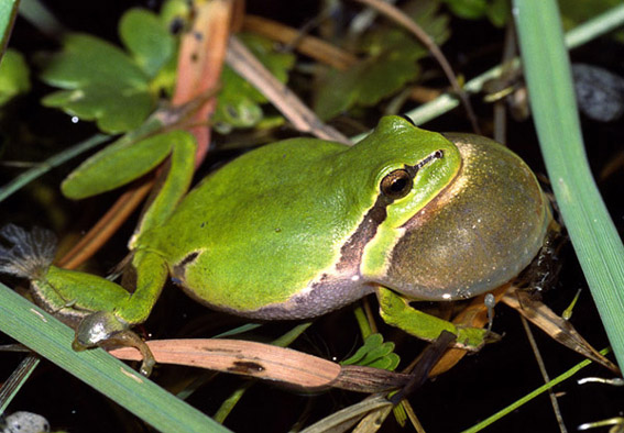 Løvfrø (Hyla arborea)