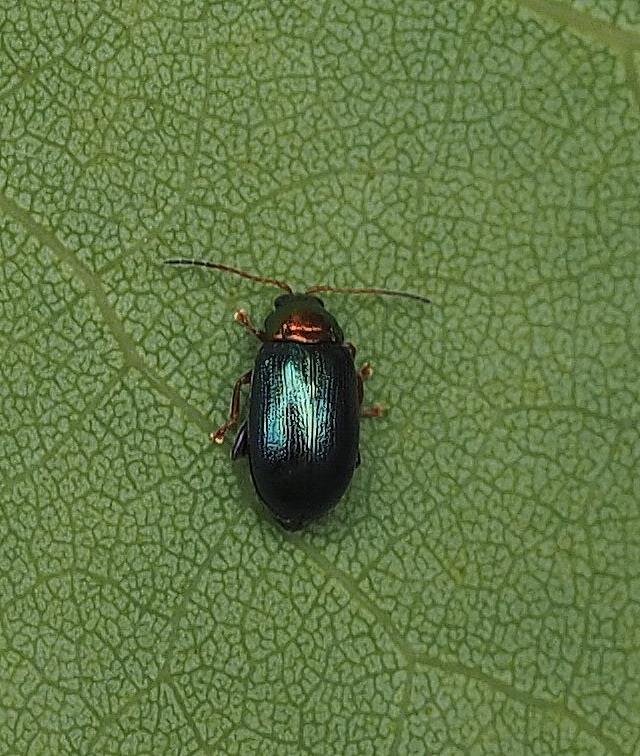 Foto/billede af Crepidodera nitidula (Crepidodera nitidula)