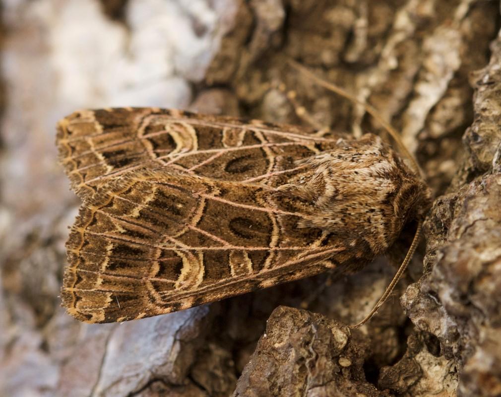 Foto/billede af Netmønstret Nellikeugle (Sideridis reticulata)