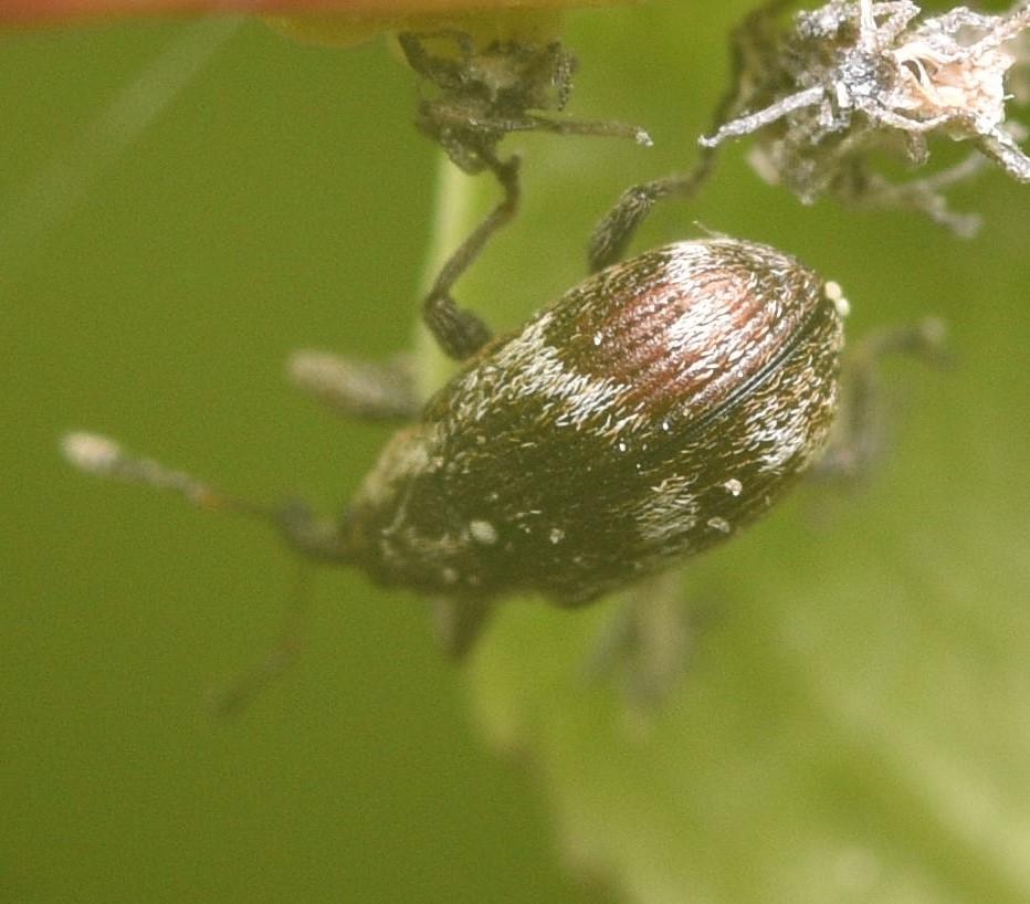 Foto/billede af Anthonomus sorbi (Anthonomus sorbi)