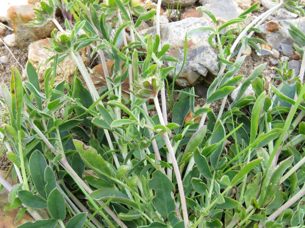 Anthyllis vulneraria ssp. vulneraria