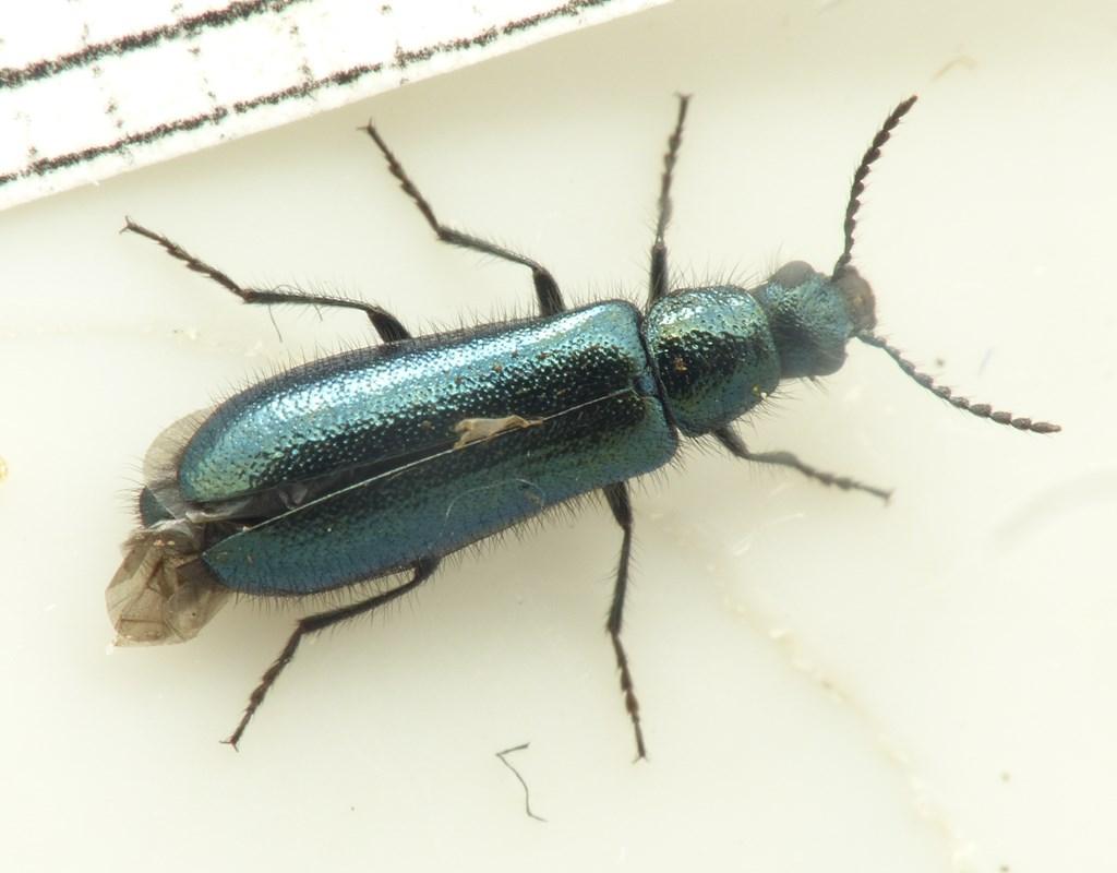 Blå Malakitbille (Dasytes caeruleus)
