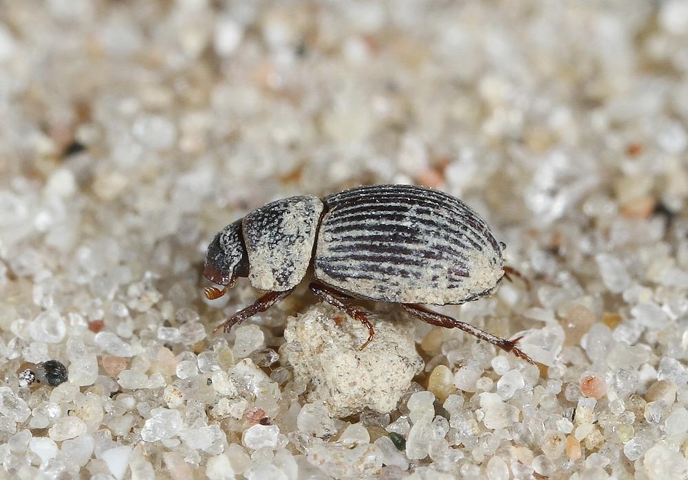 Diastictus vulneratus (Diastictus vulneratus)