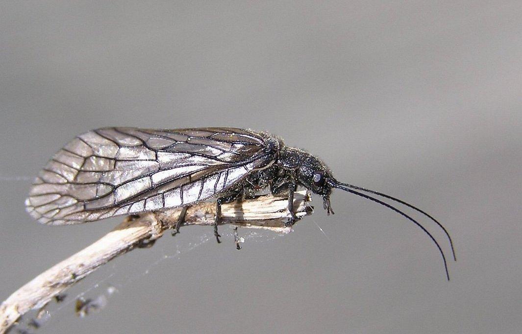 Foto/billede af Almindelig Dovenflue (Sialis lutaria)