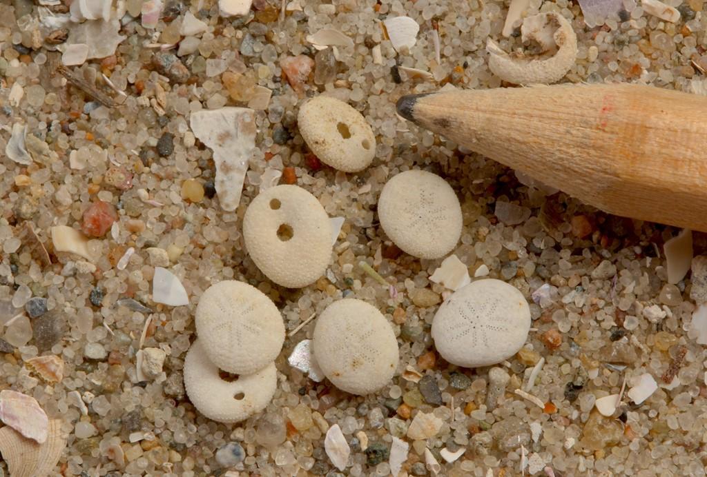 Foto/billede af Dværgsømus (Echinocyamus pusillus)