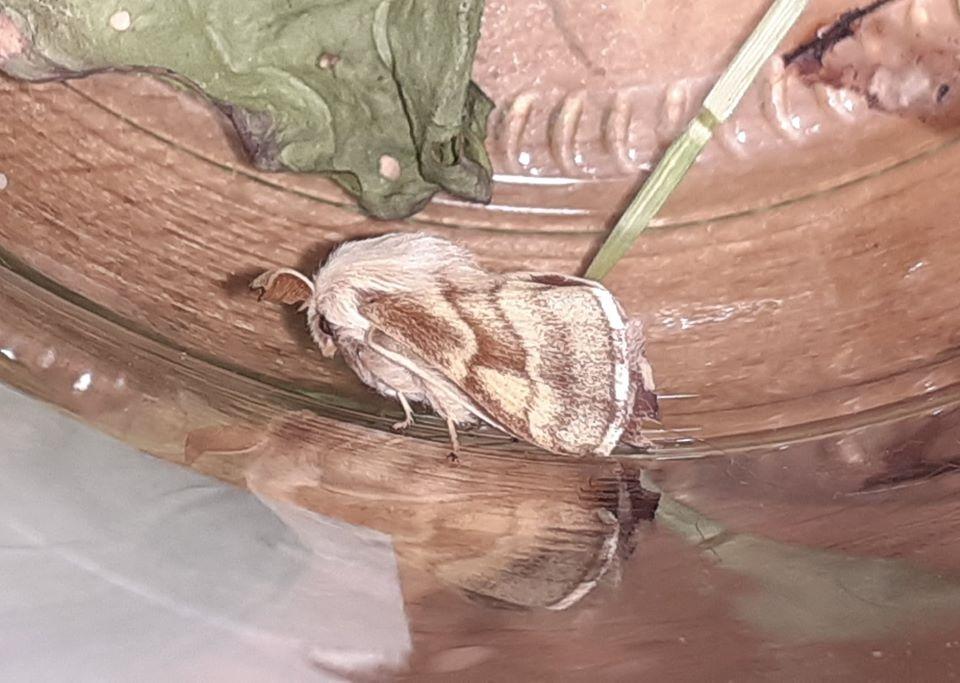 Strand-Ringspinder (Malacosoma castrensis)
