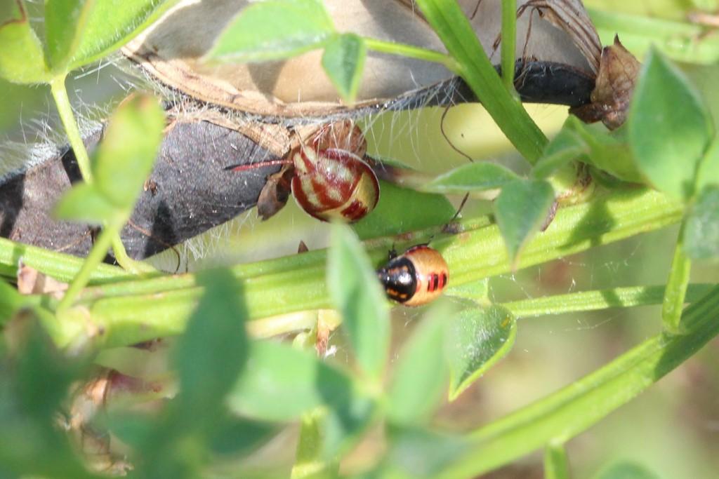Gyvelbredtæge (Piezodorus lituratus)