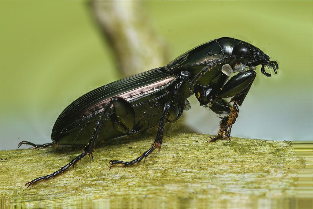 Foto/billede af Smuk Metaljordløber (Poecilus lepidus)