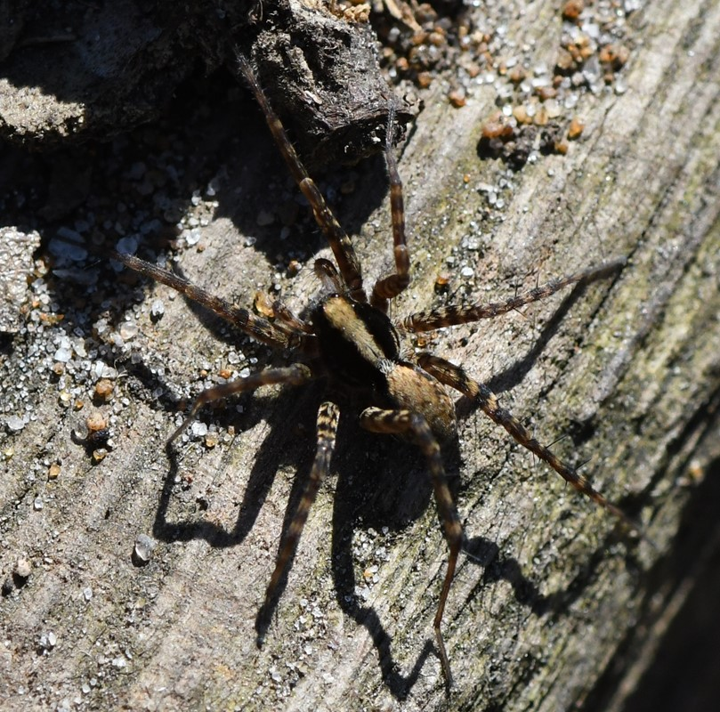 Foto/billede af Skov-Sandjæger (Xerolycosa nemoralis)