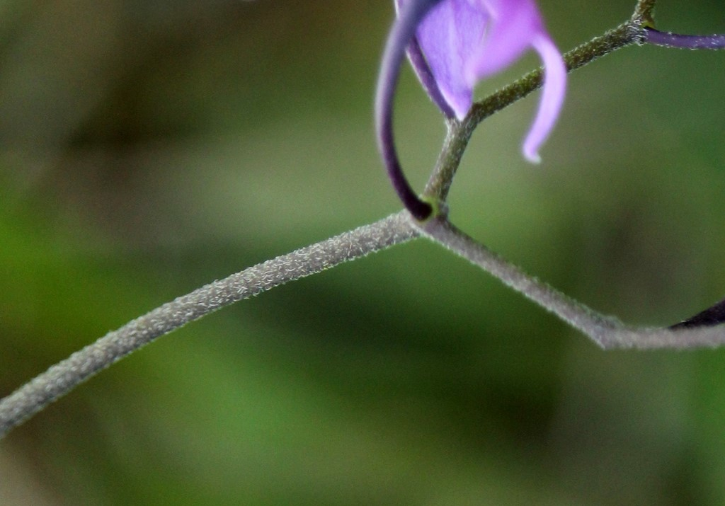 Klit-Natskygge (Solanum dulcamara var. littorale)