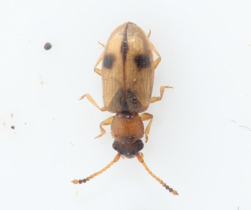 Tagrørsfladbille (Psammoecus bipunctatus)