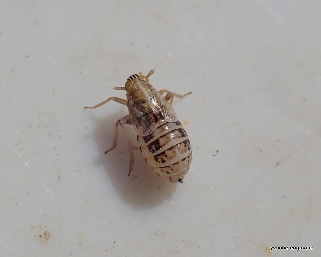 Sporecikade ubest. (Delphacidae indet.)