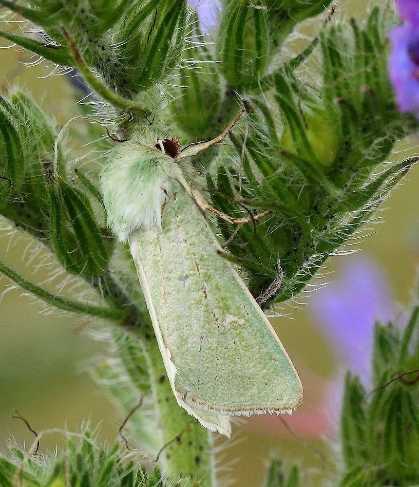 Grøn Engugle