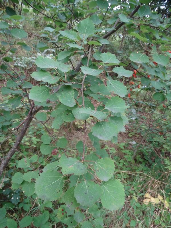 Foto/billede af Bævreasp (Populus tremula)