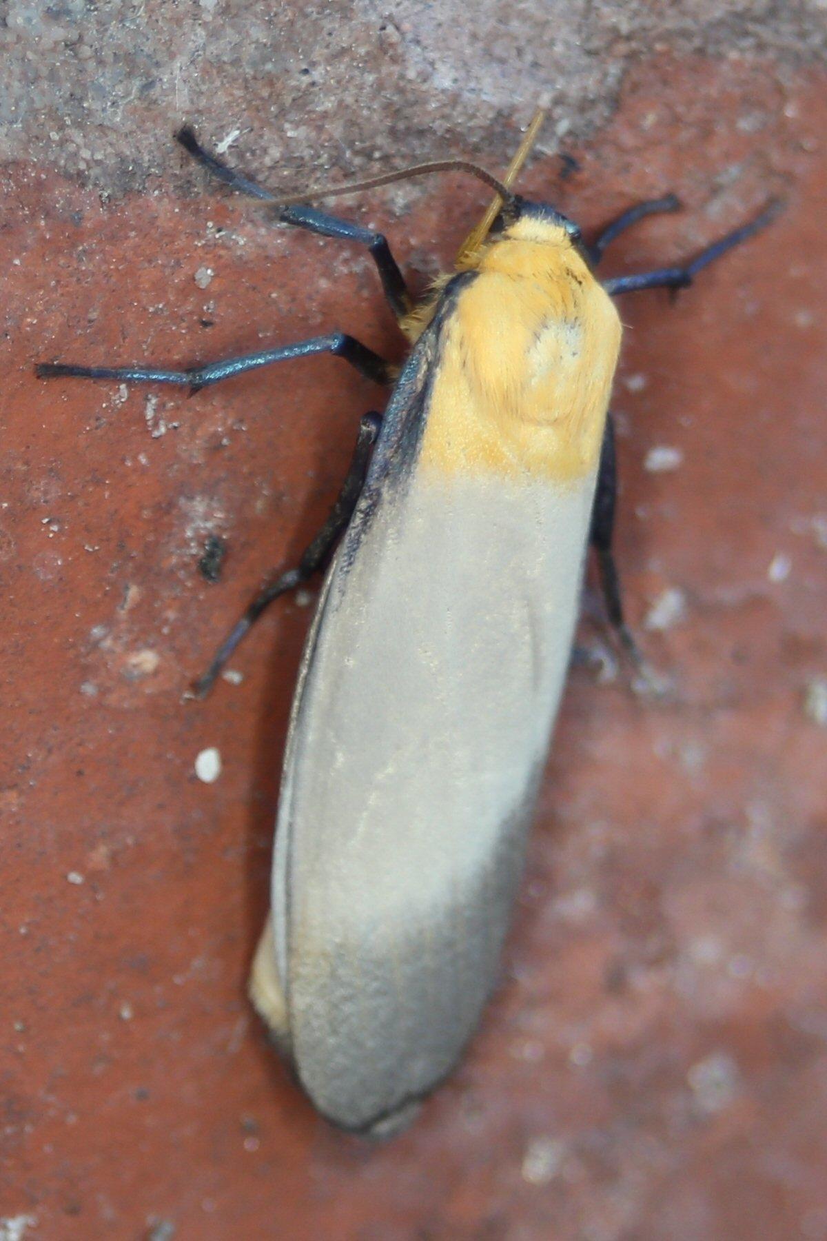 Foto/billede af Stor Lavspinder (Lithosia quadra)