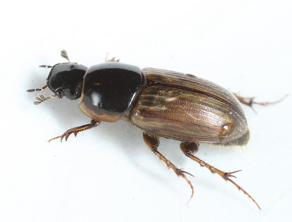 Foto/billede af Almindelig Møgbille (Aphodius prodromus)