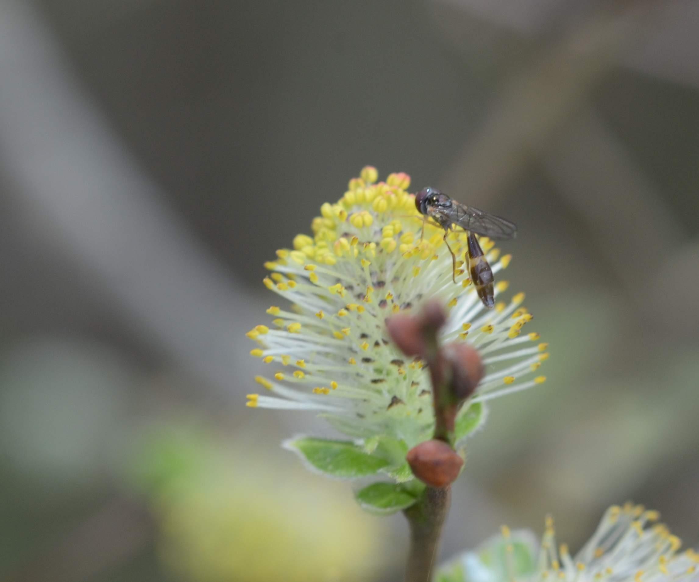 Mat Spydsvirreflue (Baccha elongata)