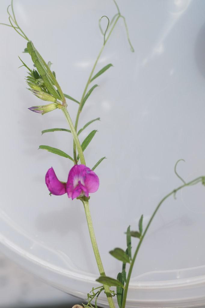 Foto/billede af Smalbladet Vikke (Vicia sativa ssp. nigra)