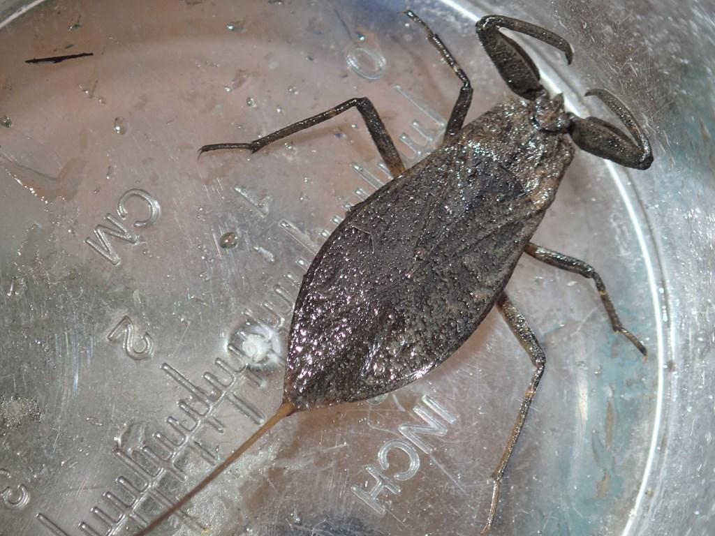 Skorpiontæge (Nepa cinerea)