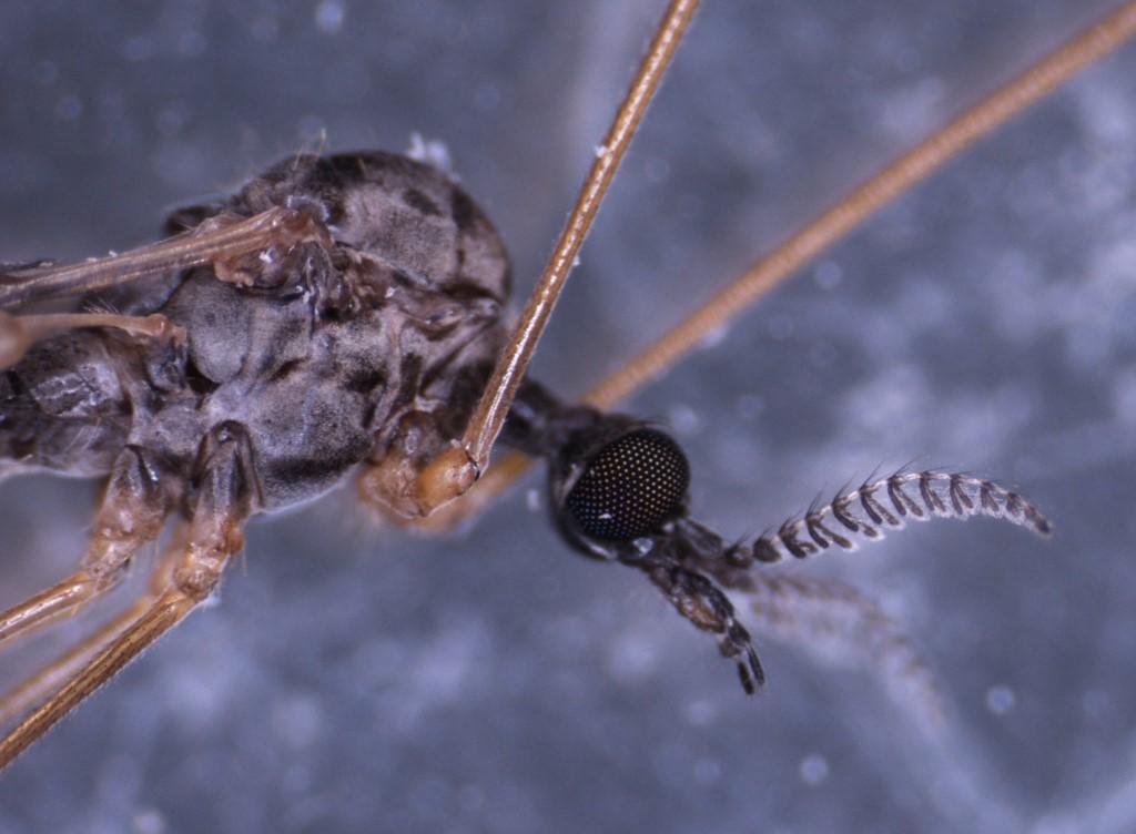 Rhipidia maculata