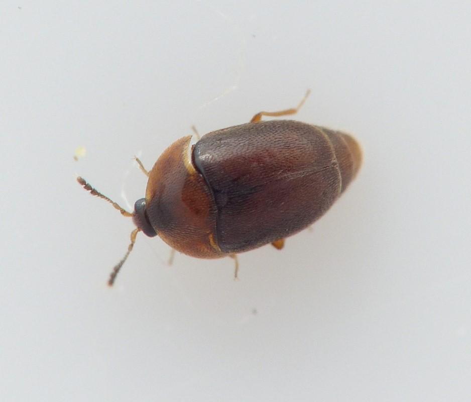Foto/billede af Sericoderus lateralis (Sericoderus lateralis)