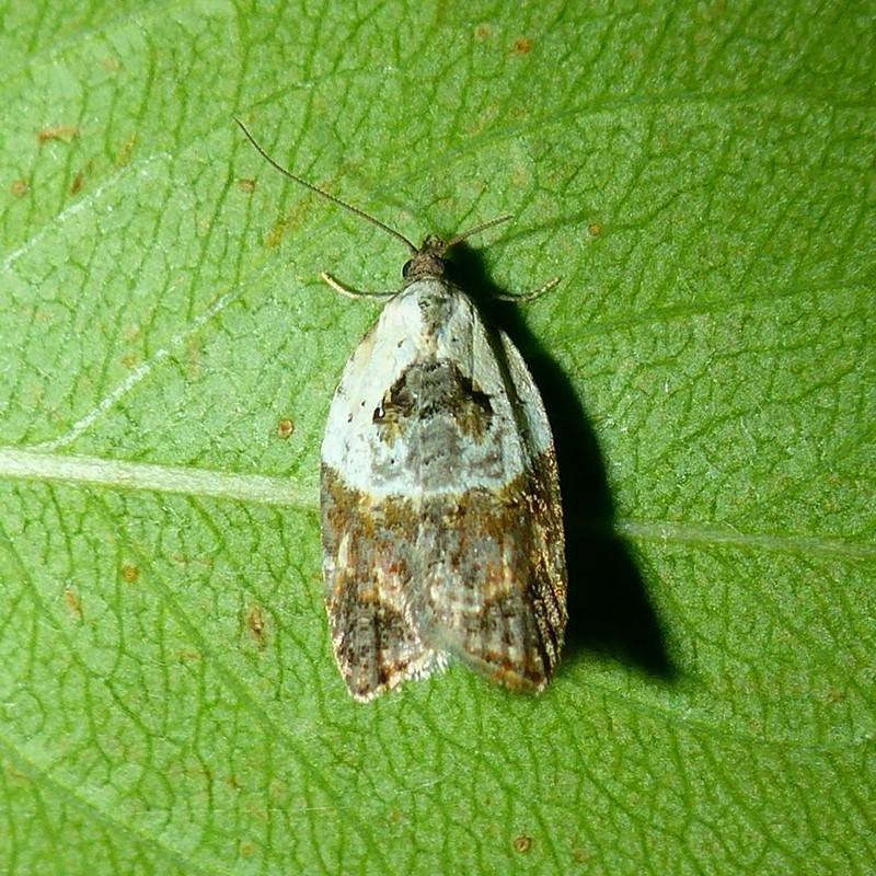 Foto/billede af Hvidbroget Rosenvikler (Acleris variegana)