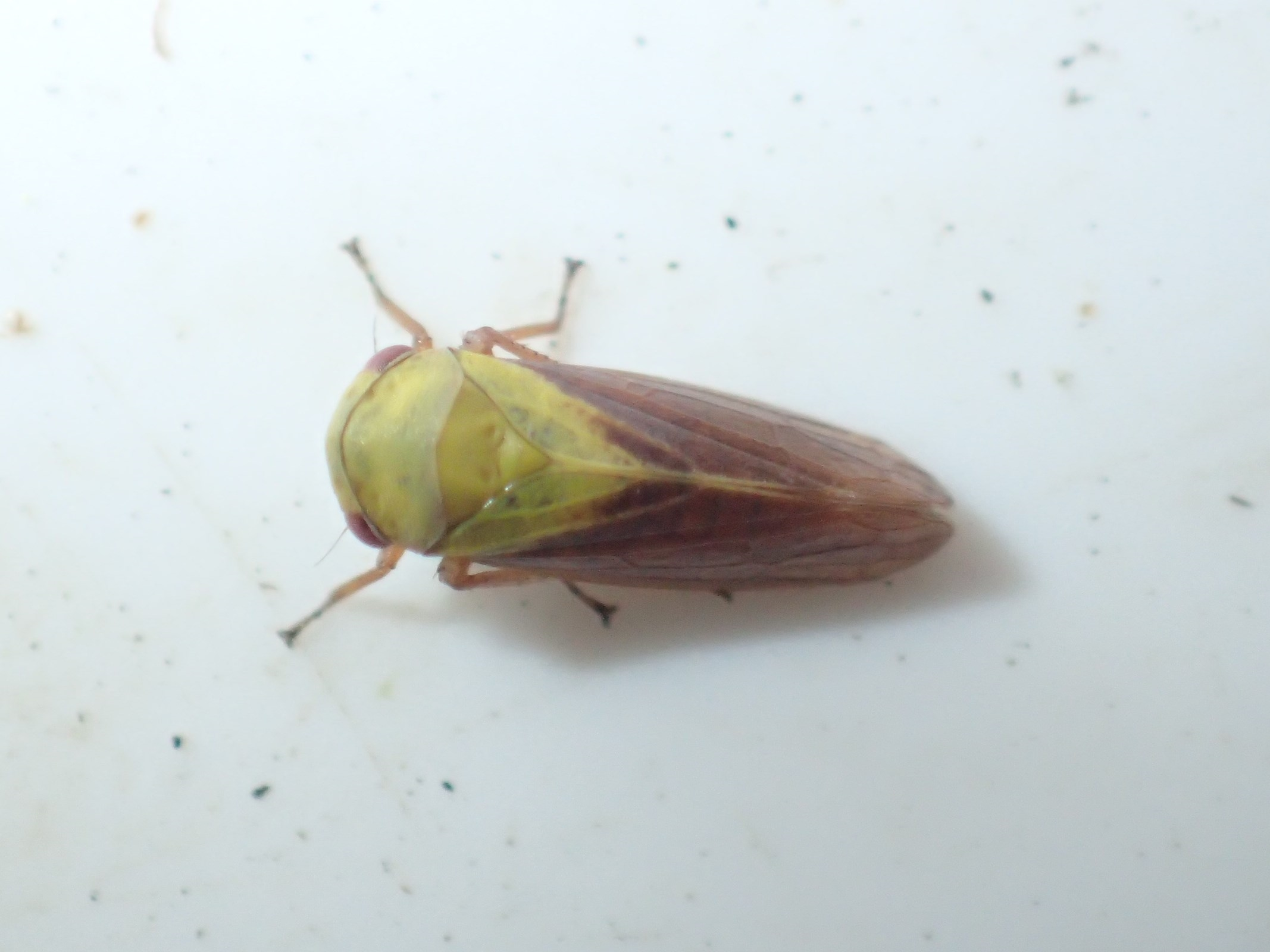 Birkecikade (Oncopsis flavicollis)